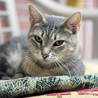 Domestic Shorthair Cat for adoption in Tucson, Arizona - Robin