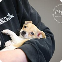 Chihuahua Mix Puppy for adoption in Redmond, Washington - Andie Walsh