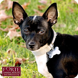 Dachshund/Chihuahua Mix Dog for adoption in Marina del Rey, California - Chunky