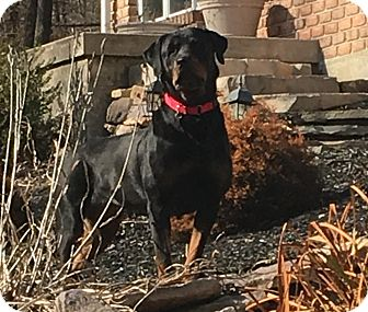 Rottweiler Dog for adoption in Frederick, Pennsylvania - Windy
