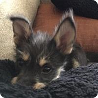 Schnauzer (Standard) Mix Puppy for adoption in Jasper, Tennessee - Levi