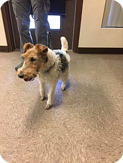 Fox Terrier (Wirehaired) Dog for adoption in Gardnerville, Nevada - Fritz