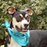 Adopt A Pet :: Braxton - Wichita Falls, TX
