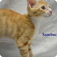 Adopt A Pet :: Sambucca - Miami Shores, FL