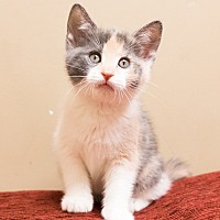 Calico Kitten for adoption in Chicago, Illinois - Cherry Blossom