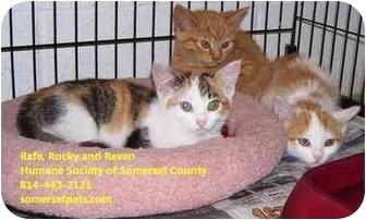 Domestic Shorthair Kitten for adoption in Somerset, Pennsylvania - Rafe Rocky and Raven