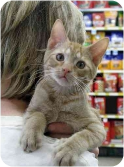 Domestic Shorthair Cat for adoption in Monroe, Georgia - Willie