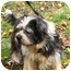 Photo 4 - Lhasa Apso/Terrier (Unknown Type, Small) Mix Dog for adoption in PRINCETON, New Jersey - Sophie