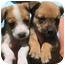 Photo 1 - American Pit Bull Terrier/German Shepherd Dog Mix Puppy for adoption in Rolling Hills Estates, California - Cuties