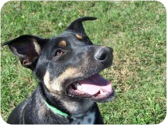 Australian Kelpie/Australian Cattle Dog Mix Dog for adoption in Patterson, California - LADY