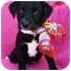 Photo 1 - Corgi/Sheltie, Shetland Sheepdog Mix Puppy for adoption in Irvine, California - Fiji