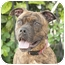 Photo 2 - Boxer/American Pit Bull Terrier Mix Dog for adoption in Long Beach, New York - Molly