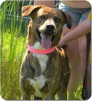 Boxer Mix Puppy for adoption in St. James, Missouri - Pluto