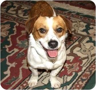 Corgi/Beagle Mix Dog for adoption in Yorba Linda, California - Henry