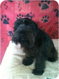 Miniature Schnauzer Dog for adoption in Hammond, Louisiana - Obie