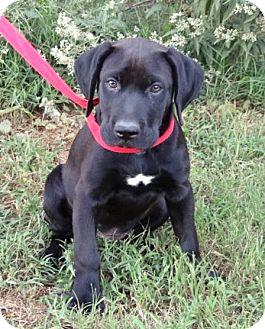Labrador Retriever/Great Dane Mix Puppy for adoption in Westport, Connecticut - *Tonka - PENDING