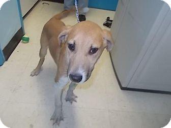 Labrador Retriever/Shepherd (Unknown Type) Mix Puppy for adoption in Lancaster, Ohio - Boomer