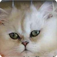 Adopt A Pet :: Mr. Bingley - Beverly Hills, CA