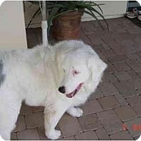 Adopt A Pet :: Brogan - Mesa, AZ