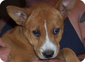 Boxer/Labrador Retriever Mix Puppy for adoption in East Windsor, Connecticut - Lulu