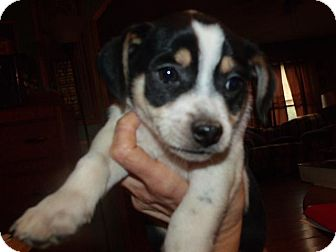 Jack Russell Terrier Mix Puppy for adoption in Rocky Mount, North Carolina - Gordon