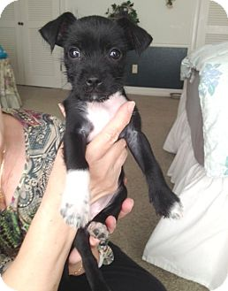 Schnauzer (Standard)/Jack Russell Terrier Mix Puppy for adoption in Houston, Texas - Rose