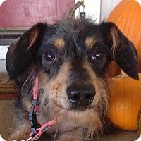 Adopt A Pet :: Grandiose Gus Gus - Vacaville, CA