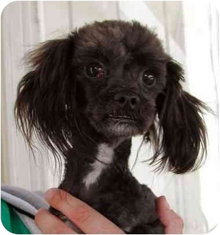 Poodle (Toy or Tea Cup)/Maltese Mix Dog for adoption in Rolling Hills Estates, California - Shaggy