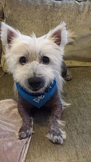 Westie, West Highland White Terrier Dog for adoption in New Orleans, Louisiana - Babar