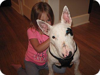 Bull Terrier Dog for adoption in Dallas, Texas - Maya