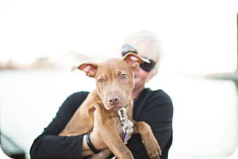 American Pit Bull Terrier Mix Puppy for adoption in Reisterstown, Maryland - Elsa