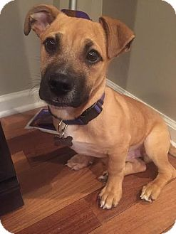 Shepherd (Unknown Type)/Retriever (Unknown Type) Mix Puppy for adoption in Detroit, Michigan - Mario-Adopted!