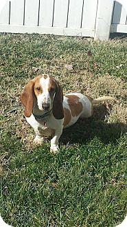 Basset Hound Dog for adoption in Ashland, Kentucky - Kloe