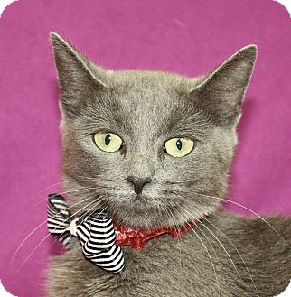 Domestic Shorthair Cat for adoption in Jackson, Michigan - Diamond