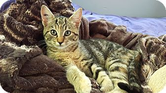 Domestic Shorthair Kitten for adoption in Duncan, British Columbia - Maxine