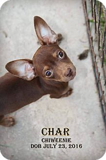 Chihuahua/Dachshund Mix Puppy for adoption in DeForest, Wisconsin - Char