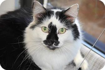 Domestic Longhair Cat for adoption in Greensboro, North Carolina - Noodles