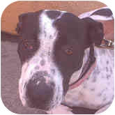 Beagle Mix Dog for adoption in Berkeley, California - Spottie