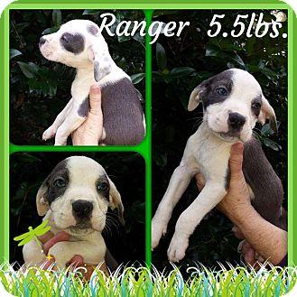 Labrador Retriever/Hound (Unknown Type) Mix Puppy for adoption in Sumter, South Carolina - Ranger