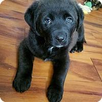 Adopt A Pet :: Al Capone - Fredericksburg, VA