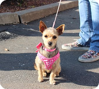 Yorkie, Yorkshire Terrier Mix Dog for adoption in Yuba City, California - Emma