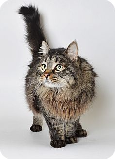 Maine Coon Cat for adoption in Fruit Heights, Utah - Mister
