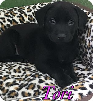 Manchester Terrier Mix Puppy for adoption in Ft. Lauderdale, Florida - Tori