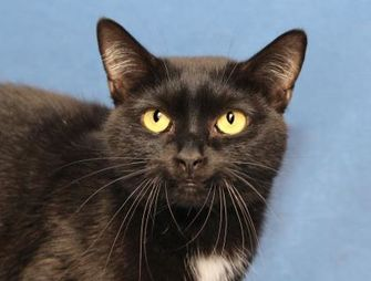 Domestic Shorthair/Domestic Shorthair Mix Cat for adoption in Mentor, Ohio - Bunky 24