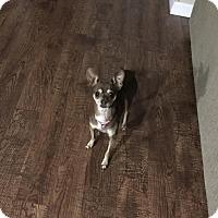 Adopt A Pet :: Grace - Sherman, CT
