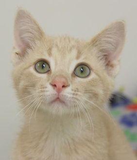 Domestic Shorthair/Domestic Shorthair Mix Cat for adoption in Dodgeville, Wisconsin - Tweek