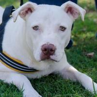 Adopt A Pet :: Skylar - Greenwood, SC