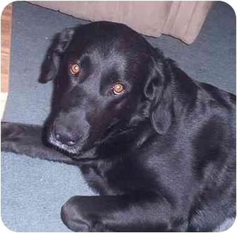 Labrador Retriever Mix Dog for adoption in Evergreen, Colorado - Sophie