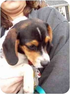 Beagle/Chihuahua Mix Puppy for adoption in Plainfield, Illinois - Millie (beagle X)
