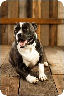American Pit Bull Terrier/Boxer Mix Dog for adoption in Portland, Oregon - Boomer